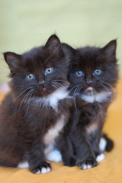 Twins! Black & white kittens!! Such blue eyes!!! Aaaahhh!!!