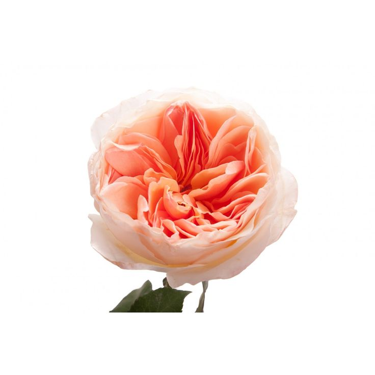 Light Peach Garden Rose - Juliet