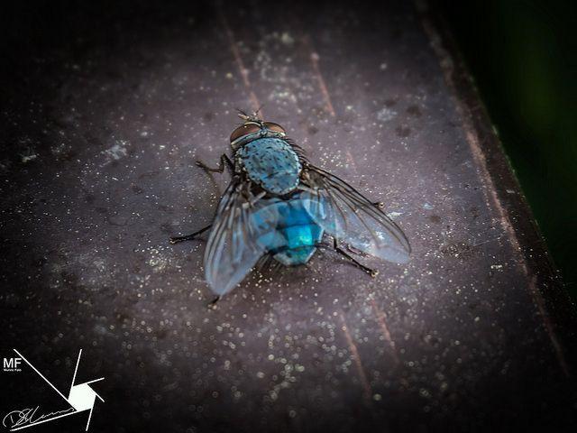 Bluebottle | by Munns Foto