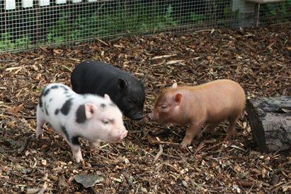 Pygmy pig | Minigris | www.123hjemmeside.dk/Minigrise