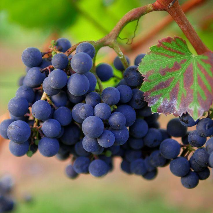 #agriculture #autumn #baden wrttemberg #grapes #heilbronn #hill #landscape #late summer #leaves #red #red wine #region #stengel #stuttgart #swiss francs #trollinger #vine #vines #vineyard #wine #wine region #winegrowi