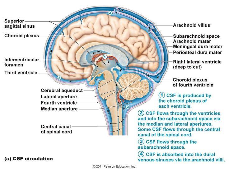 31 best PA school- Neuro images on Pinterest | Neuroscience ...