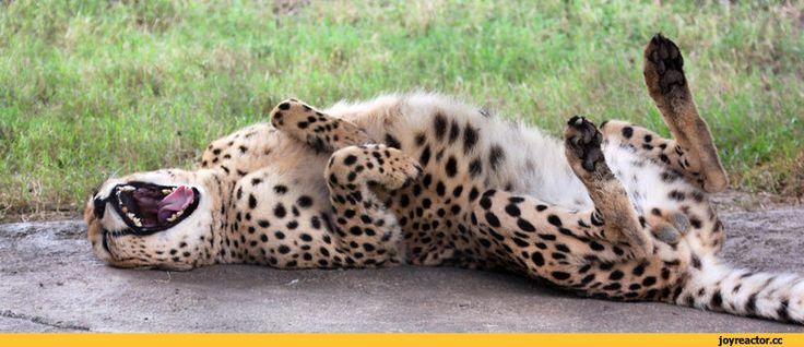 фото,гепард,живность