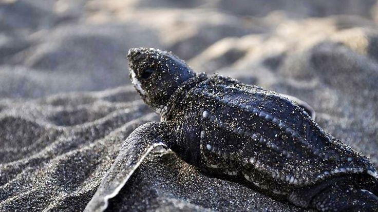 Cute baby sea turtle on beach in Costa Rica - The Happy Turtle Project - KILROY #wildlife #animals #beach #kilroy #travel #conservation #volunteering