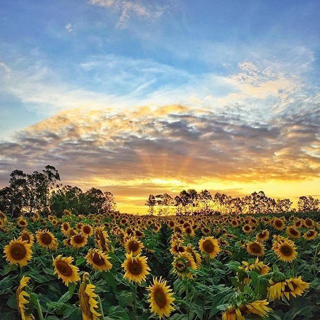 Now there's a spectacle worth pulling over for! Captured by @imlee_ in the #LockyerValley en route to #Toowoomba the sunflowers of this area will bring a smile to every road tripper's face. The Lockyer Valley is one of the world's top ten most fertile farming areas and yields incredible fresh produce which you'll find on the tables of top-notch restaurants across @queensland. by australia