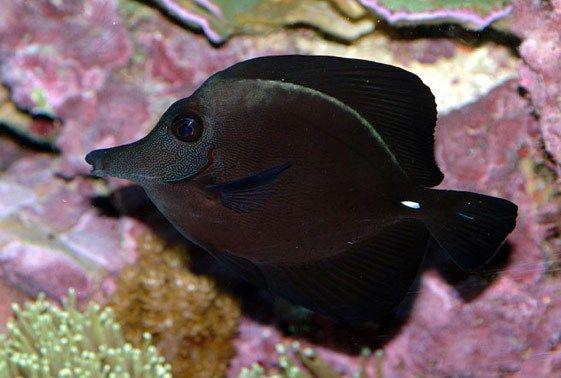 Black Tang (Zebrasoma rostratum) Saltwater Fish For Sale
