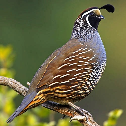 California Quail - Have dozens of these at our place.
