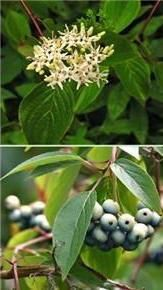 $7 plus shipping Silky Dogwood Shrub
