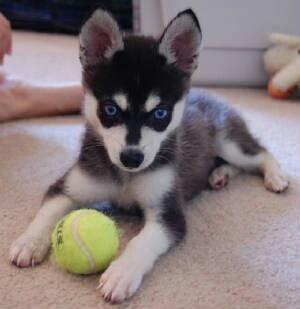 Cute Alaskan Husky/Chihuahua mix. <3