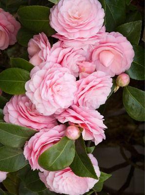 le camélia de couleur rose exprime la fierté d'un amour partagé. La fleur du camélia signifie toujours un désir, une flamme dans le cœur de celui qui l'offre, c'est la fleur qui exprime avec perfection: l'adoration, la perfection ou la beauté de la personne aimée.