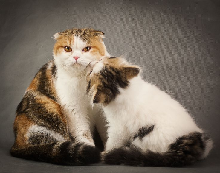 Шотланские вислоухие котята. Мама с дочкой. Фотограф Юрий Сидоренко. https://photographerwedding.io.ua