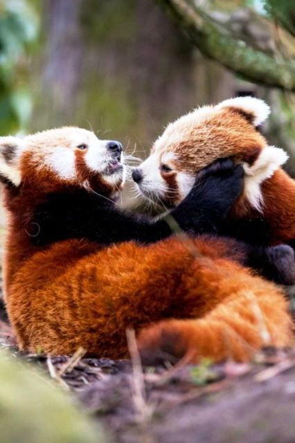 Playing red panda cubs
