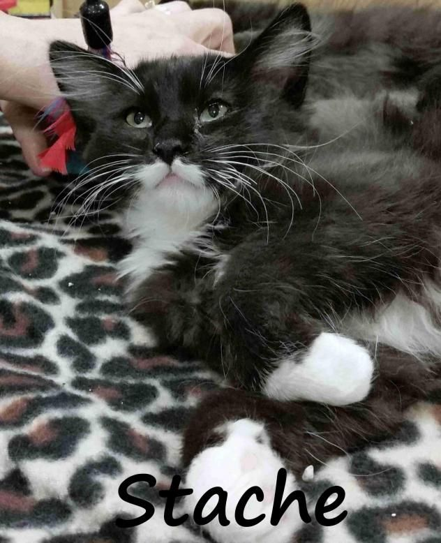 Need a roommate who comes with his own tux?  This handsome black and white tuxedo kitten is Stache and he is a sweet, cuddly boy, who purrs all the time and is looking for a forever home :)  Want to help Stache and his friends?  Please consider donating directly to the sanctuary, or buy a piece of jewelry from my site < https://www.etsy.com/shop/HawksReachDesigns?ref=hdr_shop_menu > and I will donate part of the proceeds on your behalf. Thanks in advance for your help :)