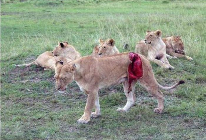 Literally a whole in this lions side :'(