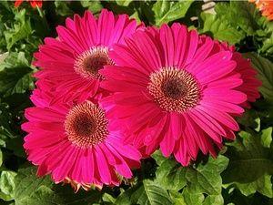Benih/ Biji/ Bibit Bunga Daisy Gerbera Pink