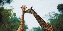 Help giraffe species be upgraded to Endangered and step up conservation efforts.