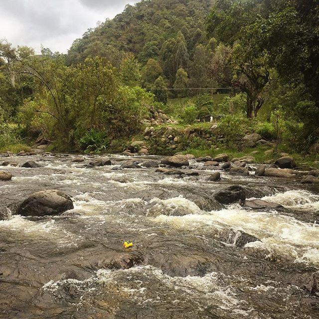 #ElPatoDeTriego en el Río Quindío. #Colombia