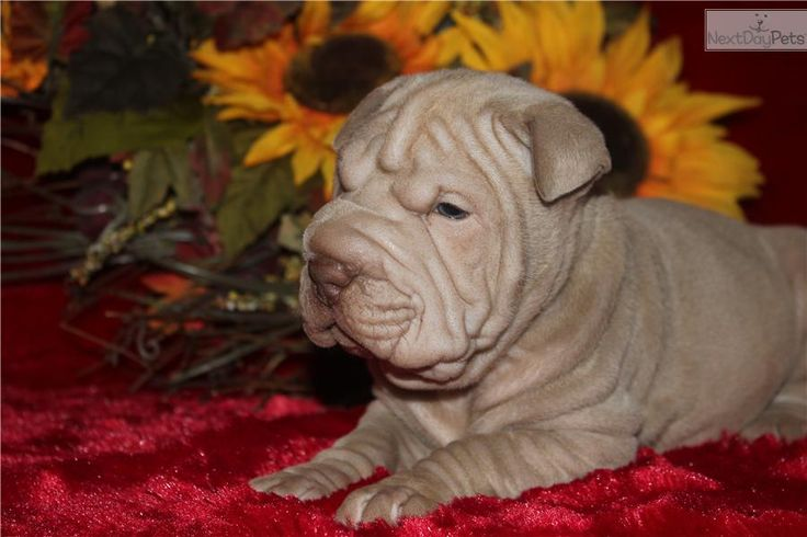 Meet PRUE a cute Chinese Shar-Pei puppy for sale for $900. VERY WRINKLY LILAC MINIATURE--BLUE EYES!