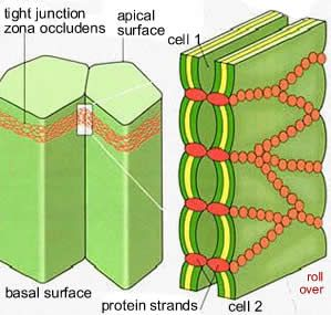 tight junctions - Google Search