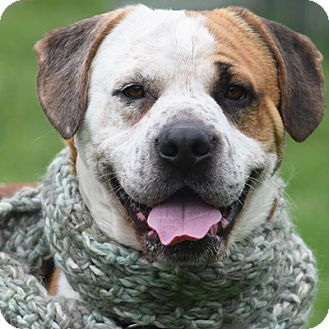 Huntley, IL - Boxer/English Bulldog Mix. Meet Baxter, a dog for adoption. http://www.adoptapet.com/pet/18188687-huntley-illinois-boxer-mix