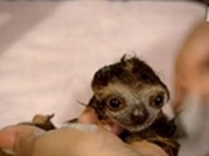 baby sloth bath time