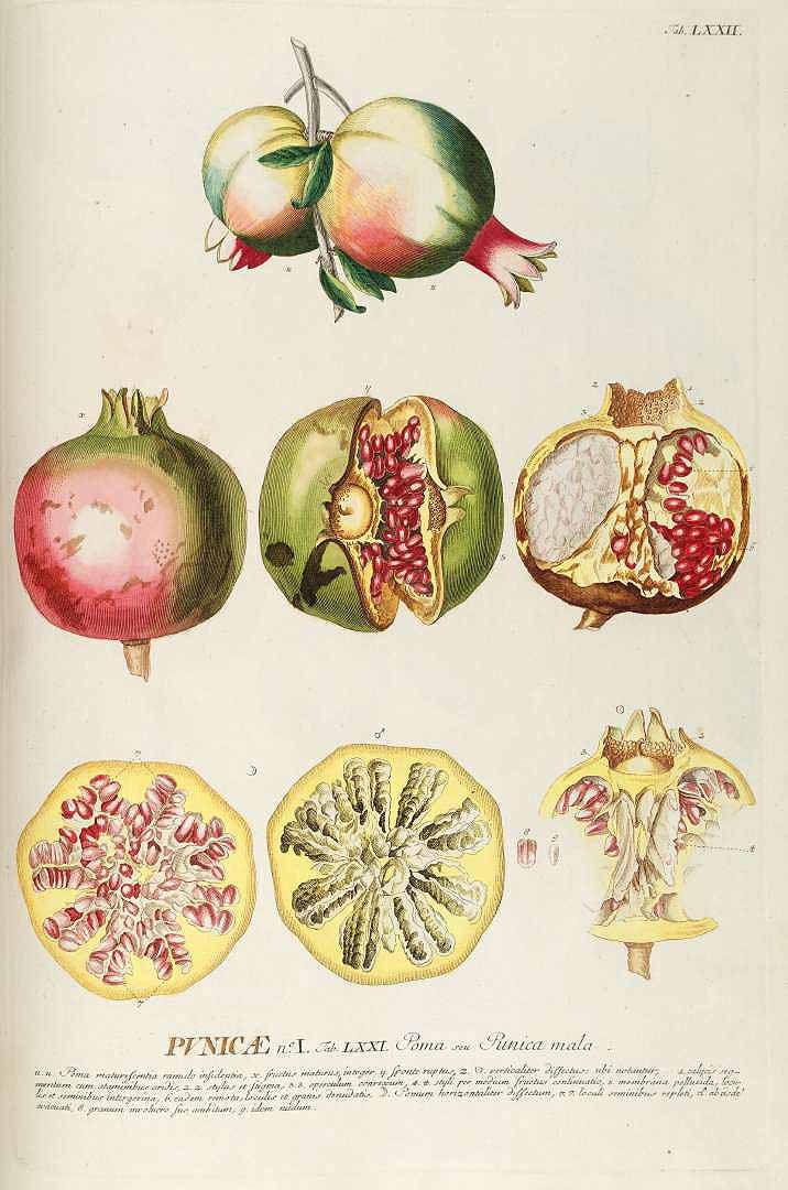 Pomegranate, Punica granatum L, illustrated by Georg Dionysius Ehret, 1771. From Plantae Selectae, vol. 8: t. 72 by CJ Trew   plantillustrations.org/illustration.php?id_illustration=58570&language=English