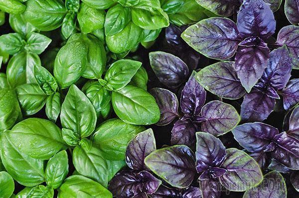 Для такого растения, как базилик, посадка и уход в открытом грунте не представляют труда. Это растение — не только популярная пряность, но также источник витаминов и микроэлементов. Базилик требует вн...