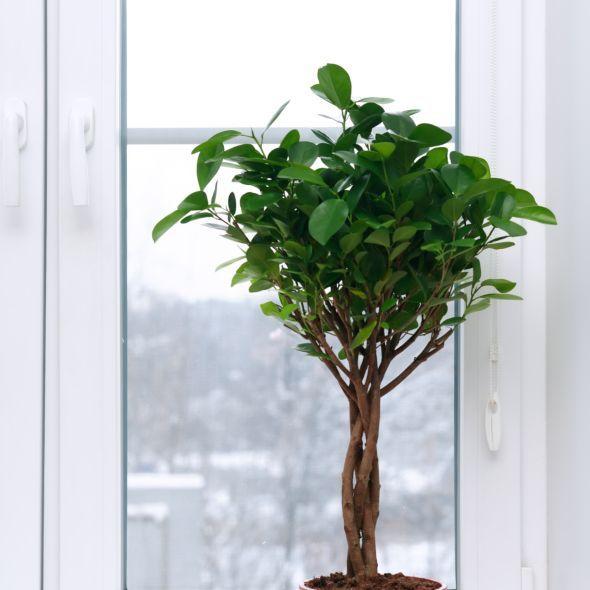 Ficus Danielle Tresse Ficus Gamm Vert Planter Des Fleurs