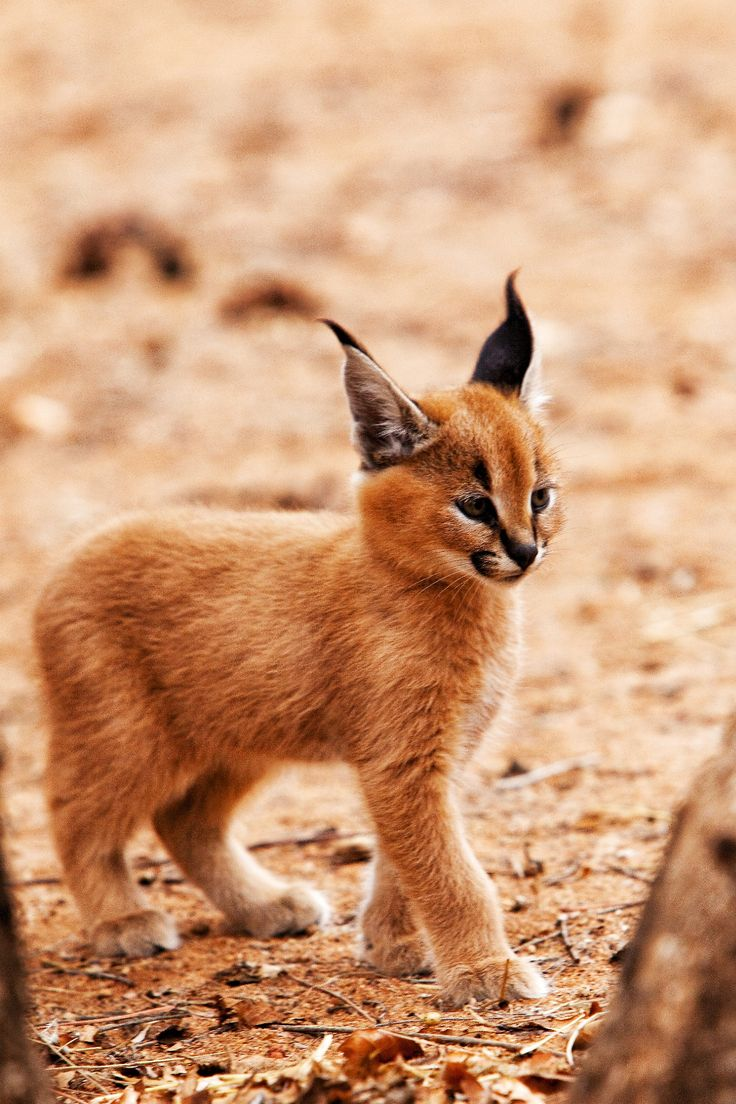 This is a caracal kitten. These endangered animals are often killed by farmers because they are a pest to their live stock. Either way, they were amazing animals to see!
