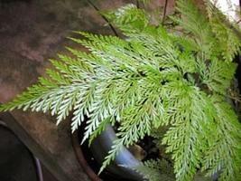 A renda-portuguesa é da mesma família das samambaias. Suas folhas (frondes) são muito interessantes: apresentam grande detalhamento nas suas subdivisões e recortes, tornando-a uma planta de te...
