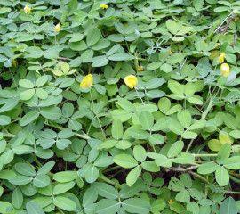 Grama-amendoim  http://ecotelhado.com/plantas-recomendadas/plantas-para-telhado-verde/