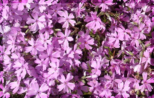 芝桜 (シバザクラ)とは    花忍(はなしのぶ)科フロックス属 の多年草で芝のように桜に似た花が一面を覆います。花色は白、赤紫、青紫など色々あります。花の大きさは1cm~2cm。暑さや乾燥にも強く日向が好きな園芸植物です。原産地は北アメリカ東部。 [別名]ハナツメクサ(花詰草) [英語名] moss phlox  [学名] Phlox sublata [花言葉]希望・合意・一致 [誕生花]4月20日