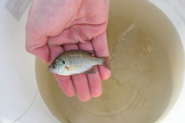 25 best ideas about tilapia fish farming on pinterest for Buy bass fish for pond