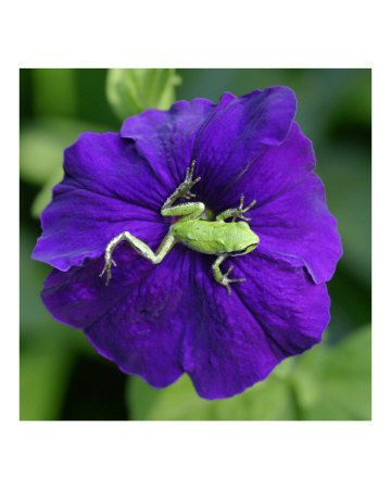 Love the little froggie sitting on a petunia...love the contrast of colors