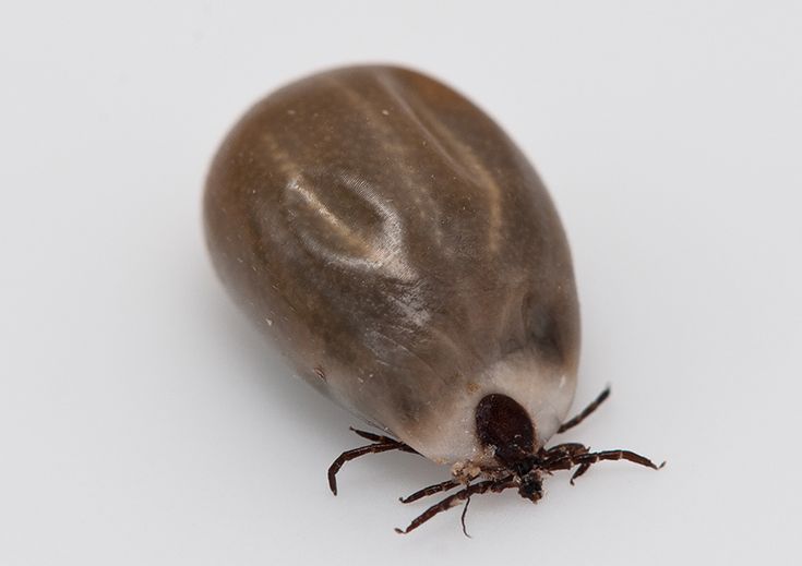 What do brown dog ticks look like? Help identifying the common brown dog tick.
