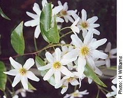 new zealand native flowers - Google Search