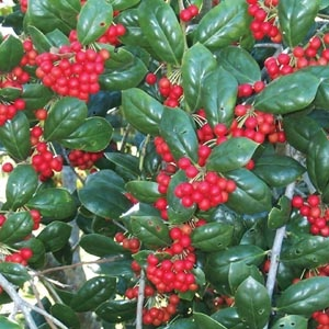 Dwarf Buford Holly (evergreen).  Make sure you get male & female holly plants if you want berries!