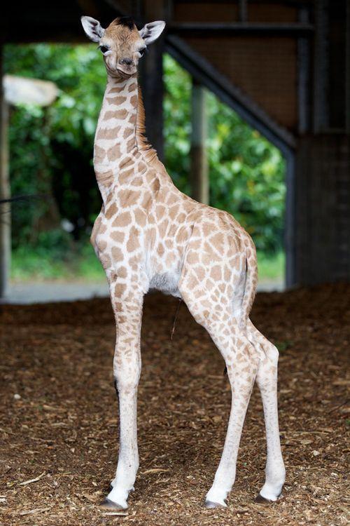Baby Giraffe, #cute, #animals