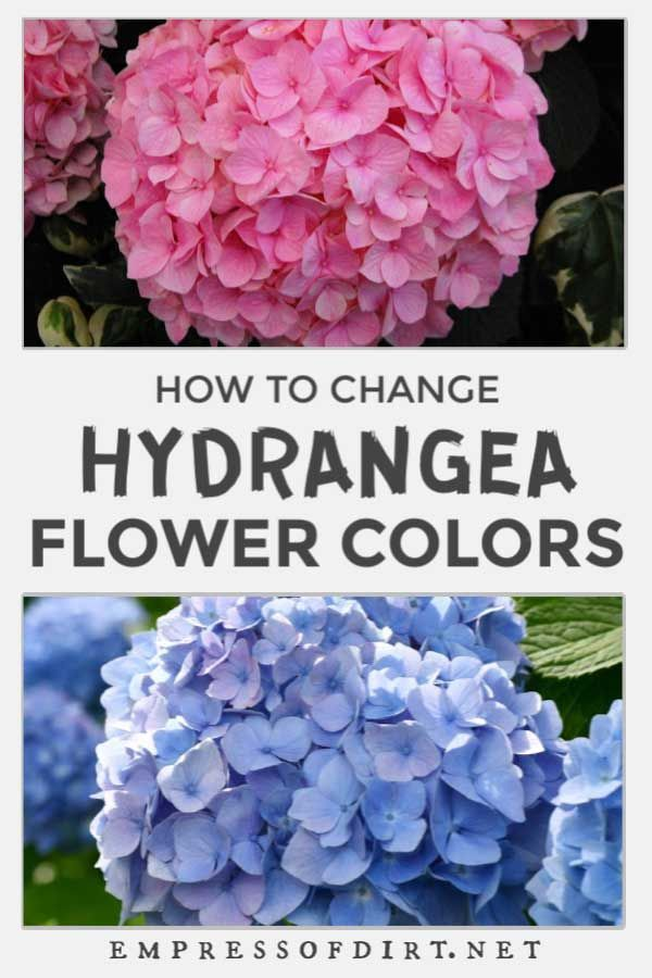 Hydrangeas Blooms How To Change From Pink To Blue Or Vice Versa In 2020 With Images Hydrangea Bloom Hydrangea Flower Hydrangea