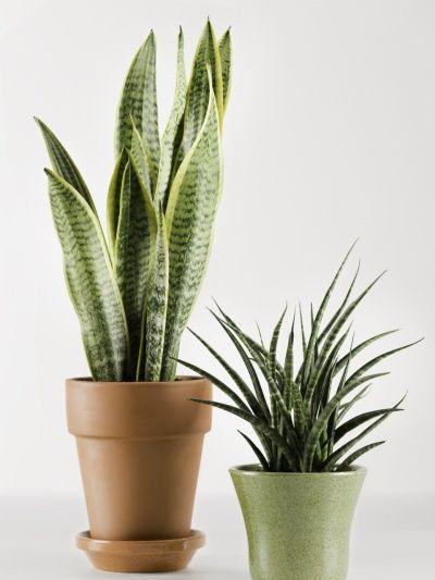 53 besten problemlose zimmerpflanzen bilder auf pinterest pflegeleichte zimmerpflanzen. Black Bedroom Furniture Sets. Home Design Ideas
