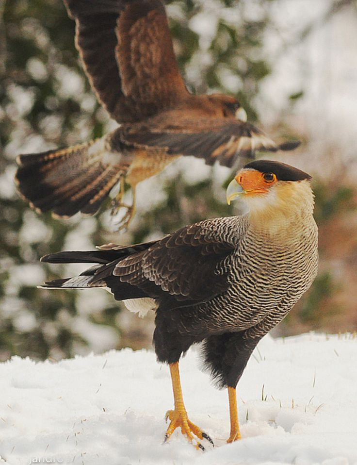 Carancho y chimango en Villa La Angostura - #bird #patagonia #argentina