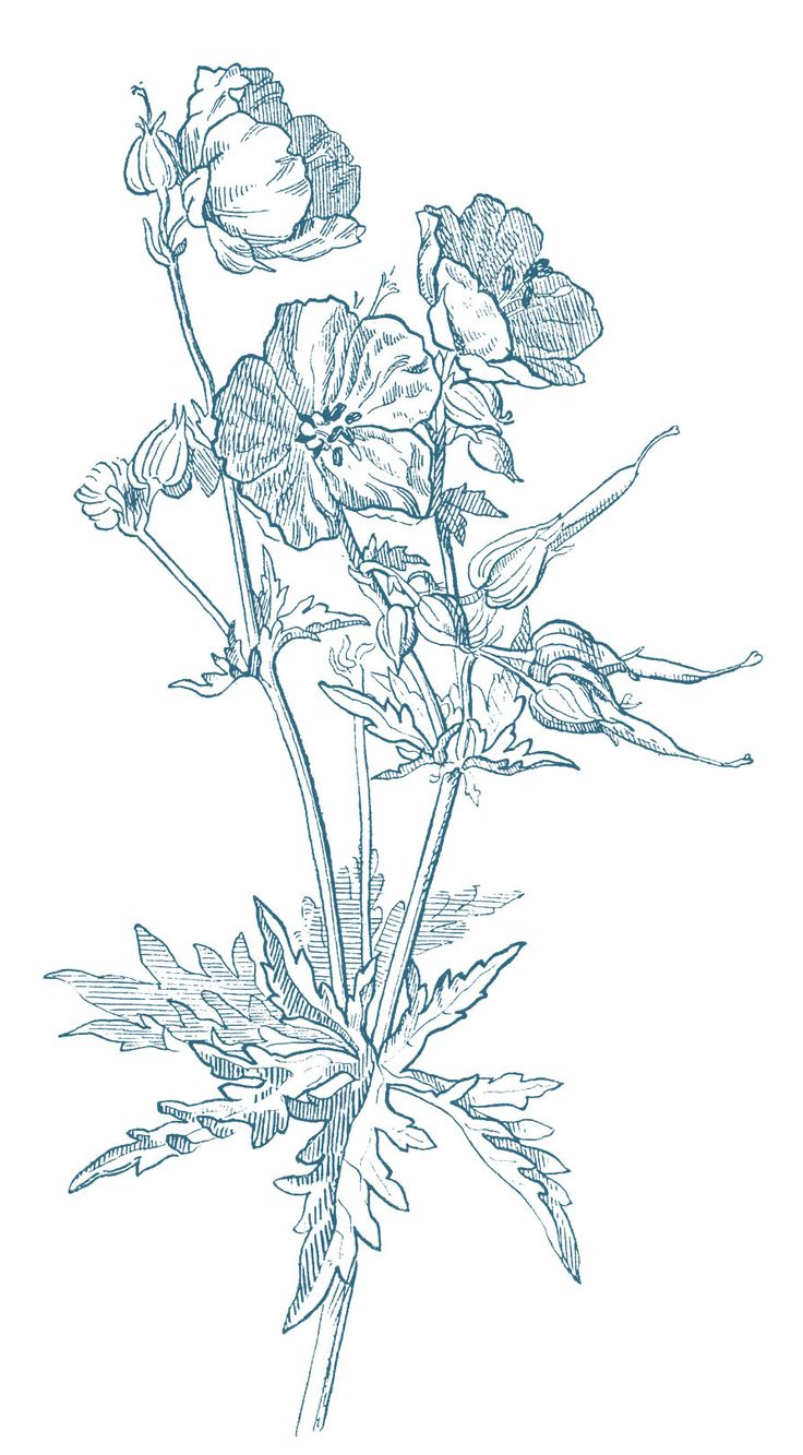 Geranium Drawing- great for wood transfer or for fabric transfer for laundry basket or curtains or pillow