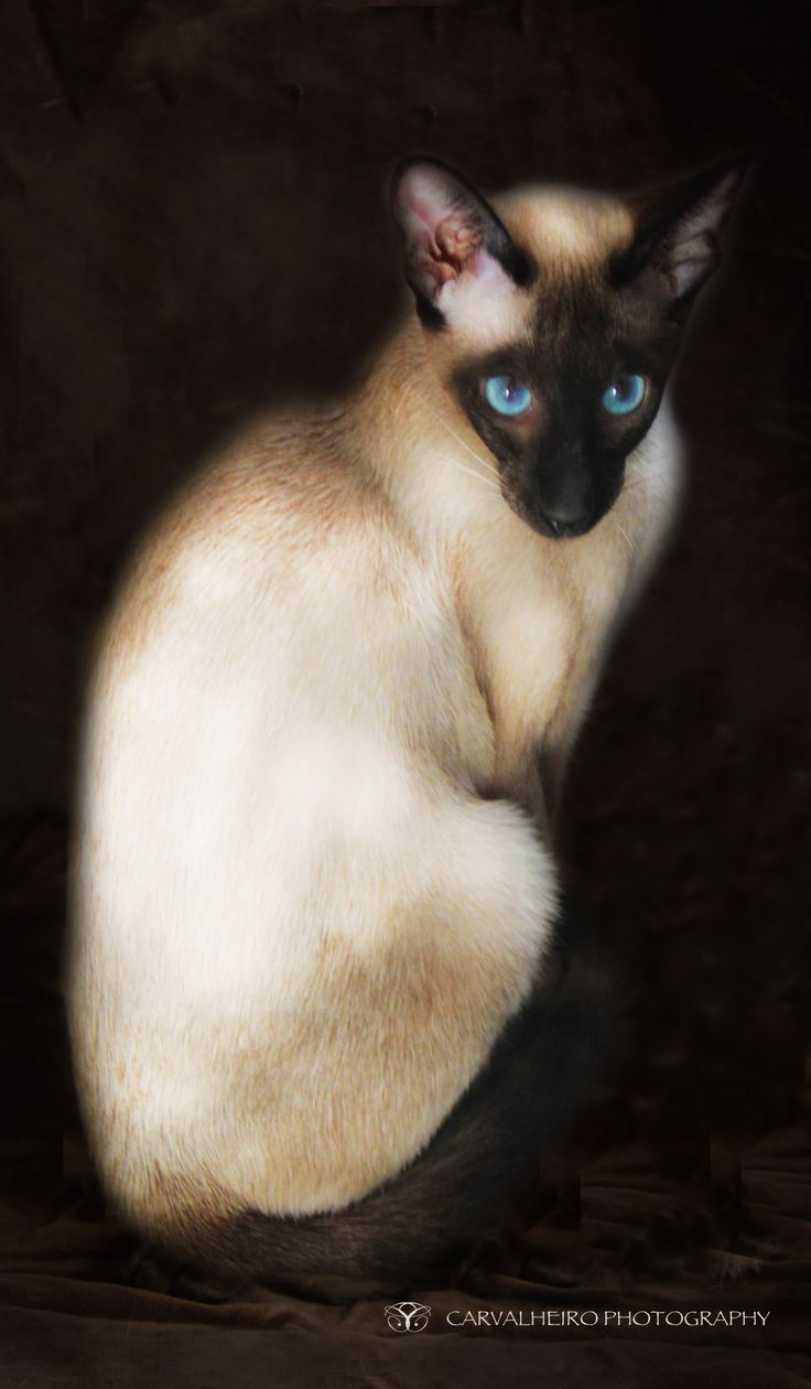 siamese cat. What a beautiful face