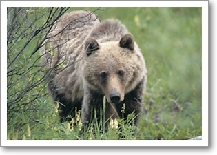 My brother!: Brown Bears,  Ursus Arcto,  Bruins