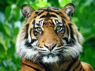 13 Countries Meet to Save Endangered Tigers