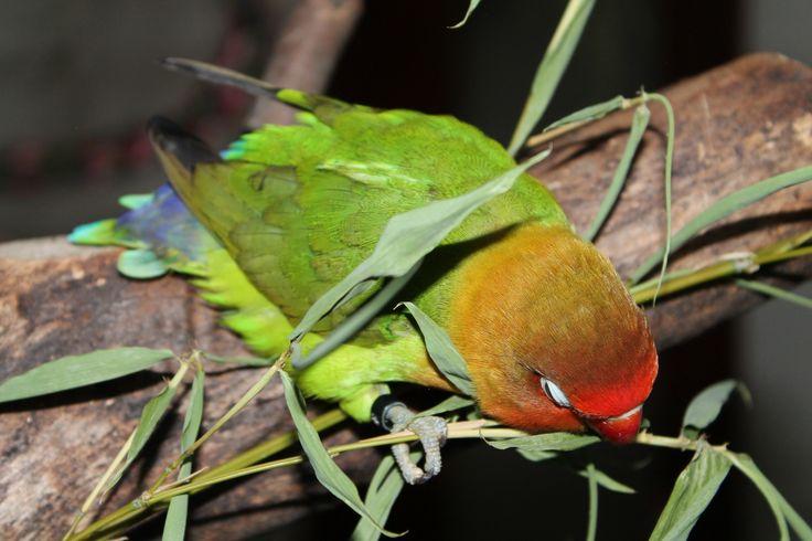112 best lovebirds images on pinterest beautiful birds