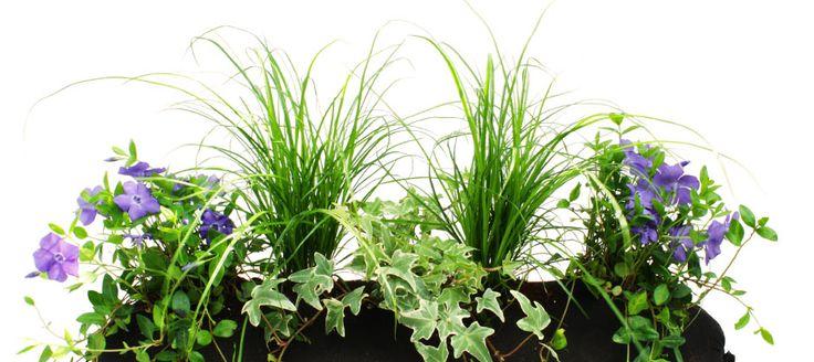 Kleiner Immergrüner-Bag: bepflanzt mit Efeu, Immergrün und Carex.