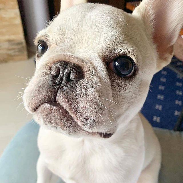 Soooo Cute Franzosische Bulldogge Franzosische Bulldoggenwelpen Niedliche Hunde