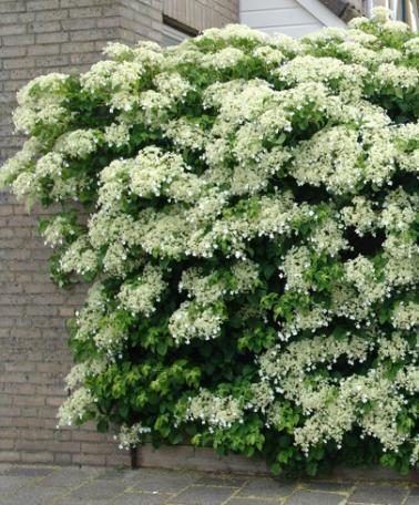 Klätterhortensia - Den här fantastiskt växande och blommande klätterhortensian växer på platser där andra klätterväxter lämnar dig i sticket. Klätterhortensian blommar vackert med stora, vita blomsterplymer om sommaren. Hydrangea anomala subspl petiolaris kräver nästan ingen skötsel och är lätt att leda. Den är därför ett vackert tillskott vid din huvuddörr eller mot ditt staket eller ett stall. Om hortensian inte har något att klättra på kryper den på marken.