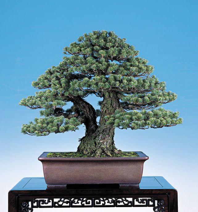 45 best images about bonsai twin trunk sokan on pinterest for Famous bonsai trees